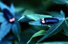 新梅田シティ・中自然の森に「蛍」、舞う。
