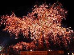 円山 公園 ライト アップ